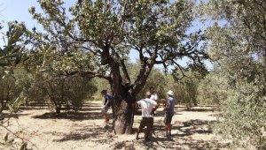 Kuşadası'nda biri bin yıllık iki anıt ağaç bulundu