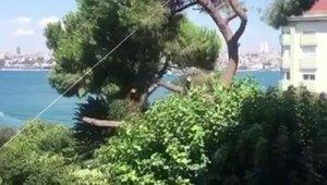 Üsküdar'da asırlık çam ağacını kestiler