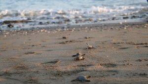 300 bin yavru kaplumbağa denizle buluştu
