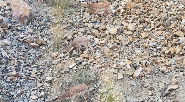 Artvin'de dağ keçileri görüntülendi