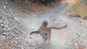 Yürüyüş yaparken peşine puma takıldı