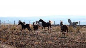 Bozkırın ortasında şampiyon yarış atları yetiştiriliyor