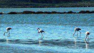 Flamingolar Bodrum'a çok erken geldi