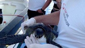 Misina yutan Yeşil Deniz kaplumbağası DEKAMER'e teslim edildi