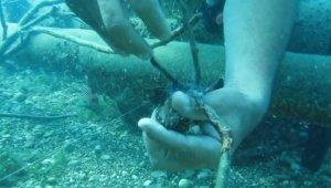 Profesör Gökoğlu koruma altındaki orfoz yavrusunu denizin altında böyle kurtardı