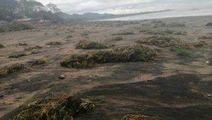 Ünye sahiline deniz yosunları vurdu