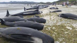 Yeni Zelanda'da 100 pilot balina ve yunus karaya vurdu
