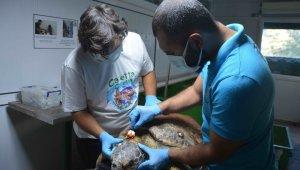 Zıpkınla vurulan deniz kaplumbağası tedavi altına alındı