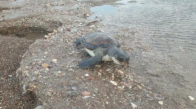 Datça'da sahilde yeşil kaplumbağa ölüsü bulundu