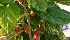Mevsimi şaşıran dut ağacı kış ayında meyve verdi