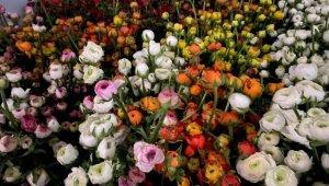 Aksu'da şakayıklar çiçek açtı ihracat başladı