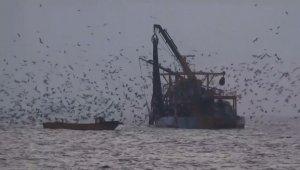 Martıların balık kapma telaşı