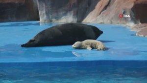 Çin'de Shanghai Haichang Okyanus Parkı'nın ilk benekli fok yavrusu doğdu