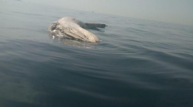 İskenderun körfezinde ölü balinaya rastlandı