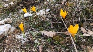 Baharın müjdesi çiğdemler nefes kesti