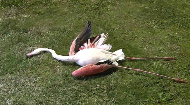 İzmir'de flamingoların toplu ölümü endişe uyandırdı