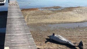 Kuraklık Ayvalık'ı vurdu, dev yunus balığının ölüsü bulundu