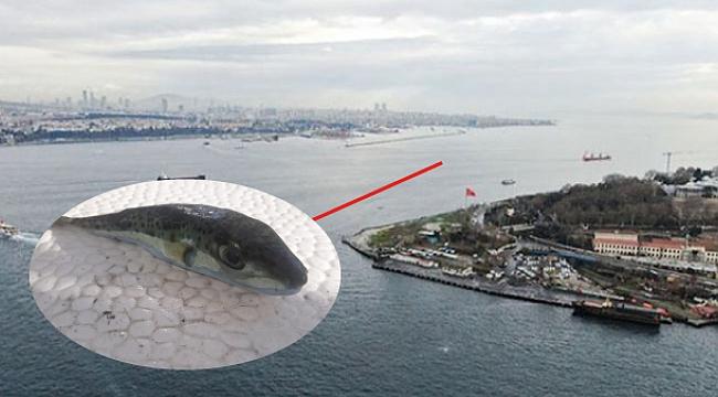 Balıkçıların kabusu balon balığı Marmara denizinde yakalandı!