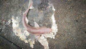 İzmit Körfezi'nde balıkçı oltasına camgöz köpekbalığı takıldı!