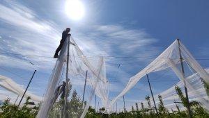 Bu ağlar balık için değil, en kaliteli ürünleri doludan korumak için