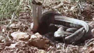 Dünya'nın en zehirli yılanları Şanlıurfa'da görüldü