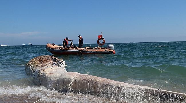 Mersin'de sahile vuran dev balina görenleri şaşkına çevirdi!