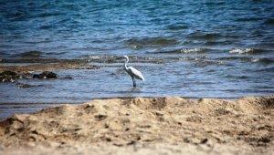 Sahiller boş kalınca, yaban hayvanları sahillere gelmeye başladı