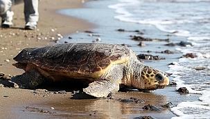 Mersin sahilleri, bu yıl da Caretta Carettaları ağırlıyor!