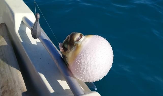 Balıkçılar, balon balığı avcılığı teşvikinden memnun!