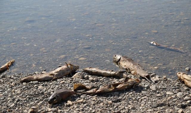 Kahta Çayı'nda binlerce balık telef oluyor!
