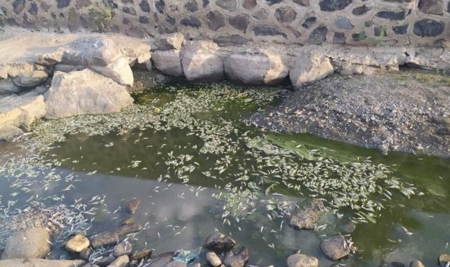 Kuraklık balıkları da vurdu, yüzlercesi telef oldu!