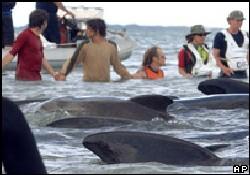 Sahile vuran 41 balina öldürüldü
