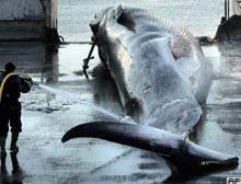 İzlanda balina av yasağını kaldırdı
