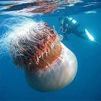 Sahillerimize denizanası akını